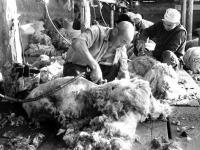 Стрижка овец в колхозе «Социализм». Туркменская ССР, Ашхабадская обл. 1977 г. Фот. В.С. Тарасевич. арх. № 0-367853-ч/б